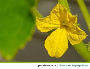 желтые листья у огурцов
