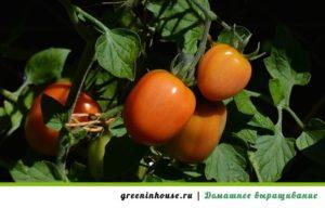 как высадить рассаду помидор