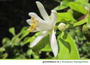 цветок лимона