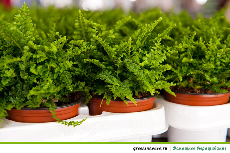 выращивание папоротника в домашних условиях