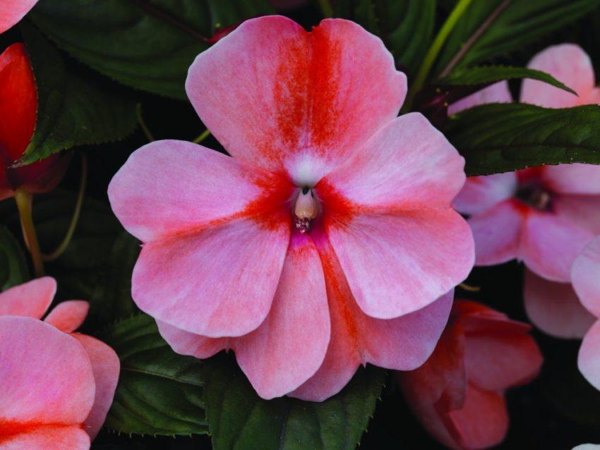 цветок бальзамина новогвинейского