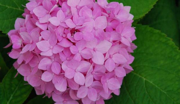период цветения гортензии