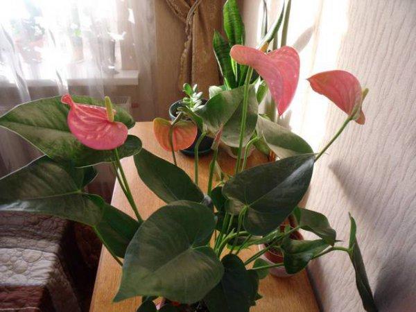 размножение антуриума листом
