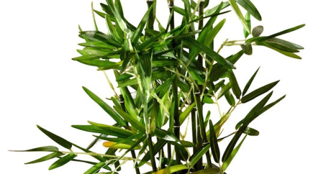 размножение бамбука