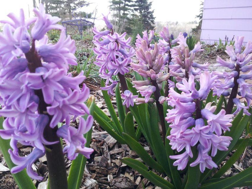 когда выкапывать гиацинты после цветения