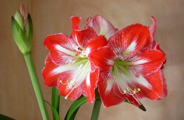 амариллис не цветет