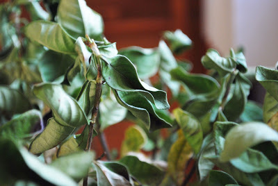 желтеют листья гардении