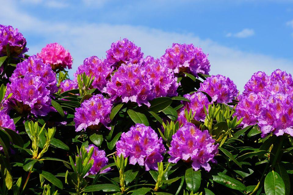 азалия уход в домашних условиях после цветения