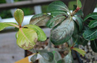 у адениума сохнут кончики листьев