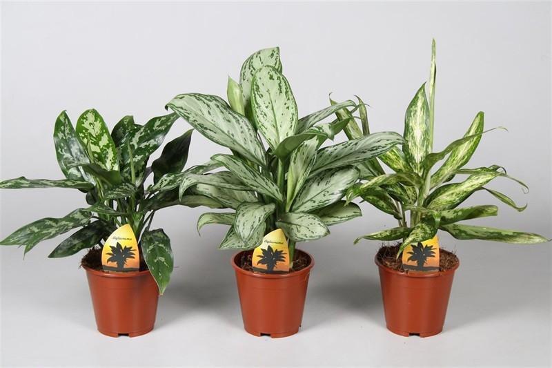 комнатные растения аглаонема