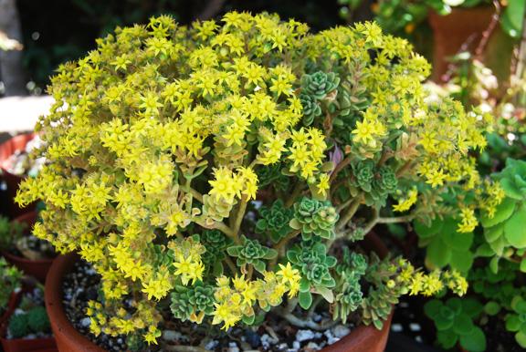 аихризон растение