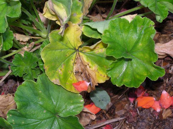 почему желтеют листья у ваньки мокрого