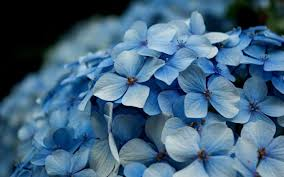 как посадить голубую гортензию