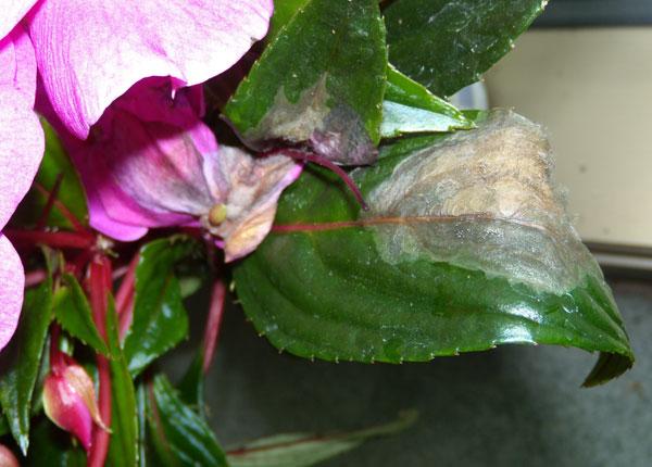 желтеют листья бальзамин