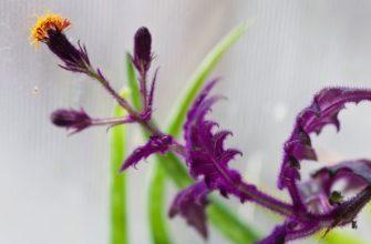 Гинура цветок