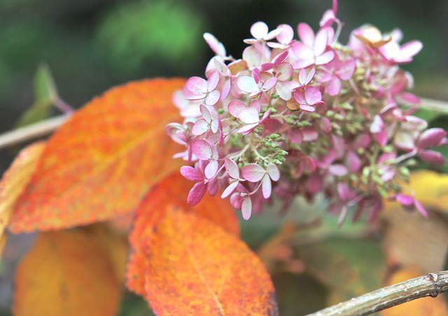 сохнут листья у гортензии