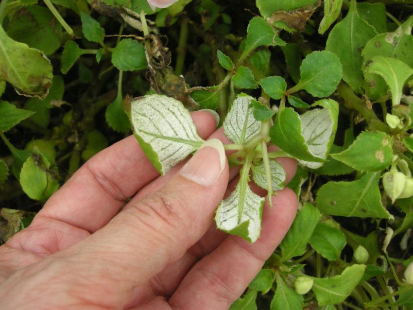 листья у бальзамина