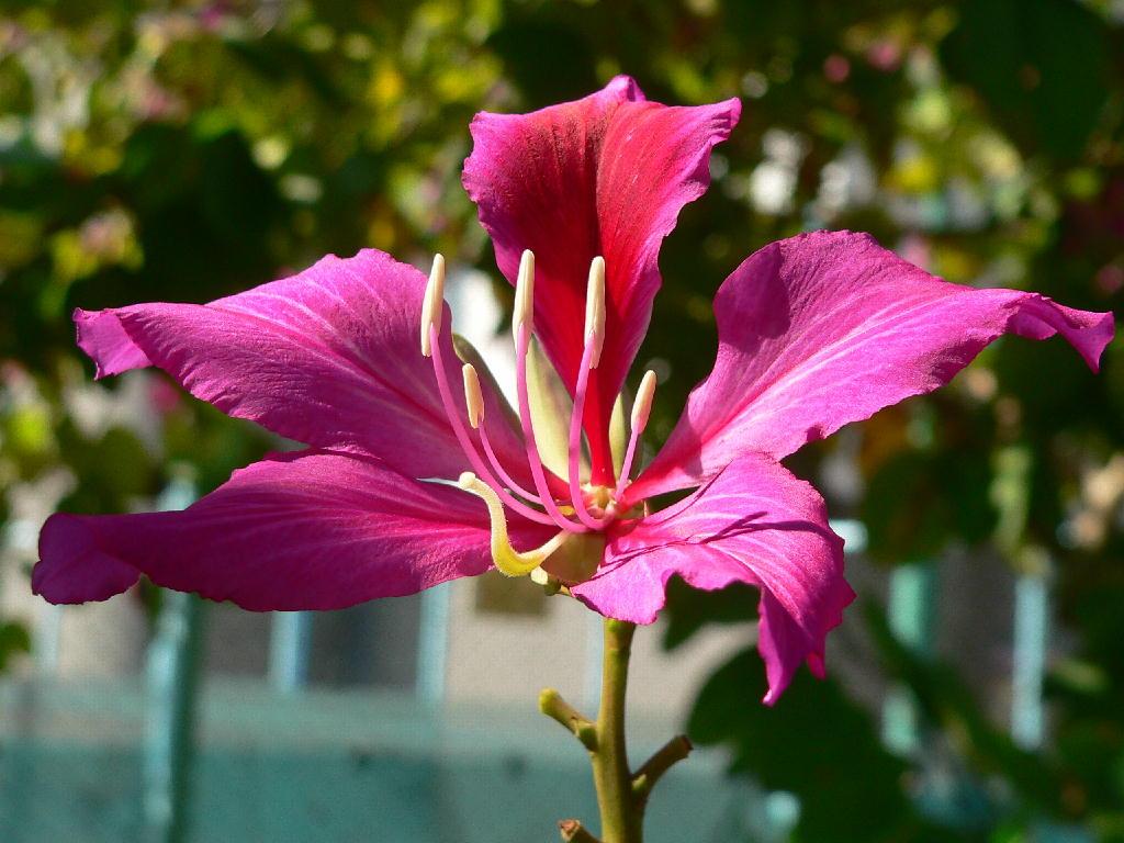 Баухиния (орхидейное дерево). Выращивание в домашних условиях