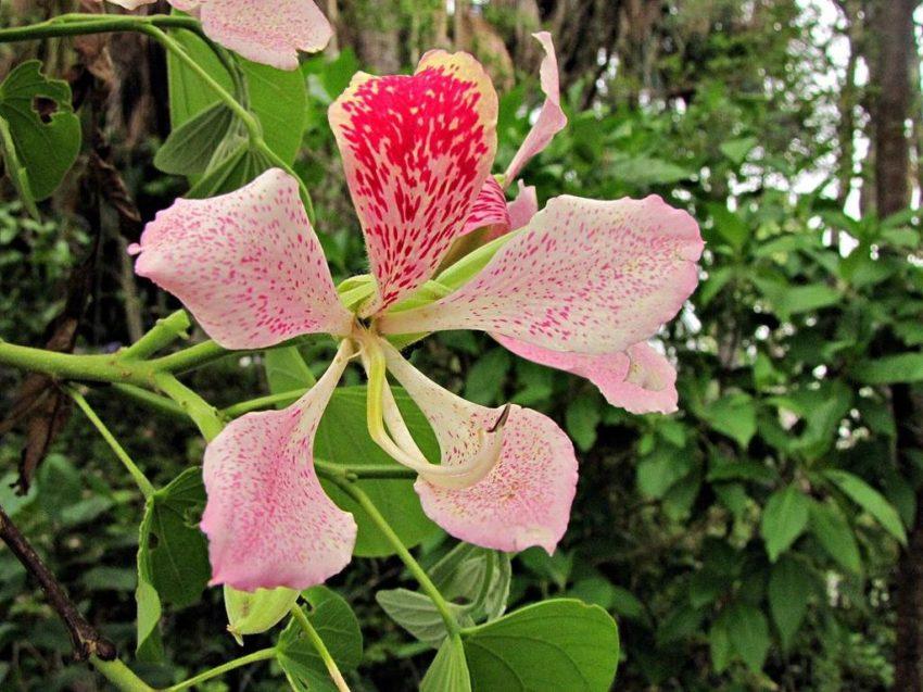 баухиния однотычинковая