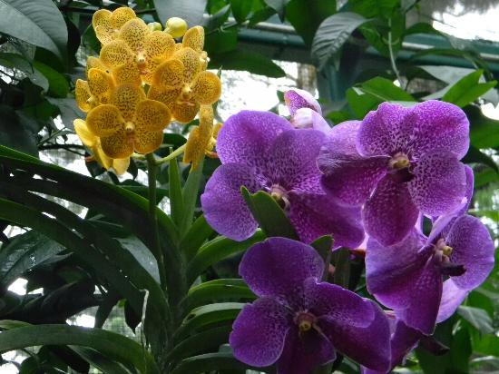 Растение орхидея Ванда