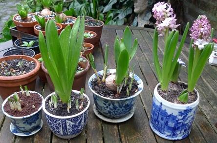 нужно ли выкапывать гиацинты после цветения
