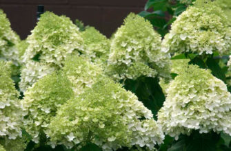 почему не цветет гортензия метельчатая