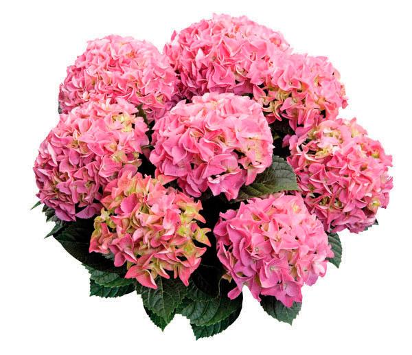 гортензия розовая как ухаживать