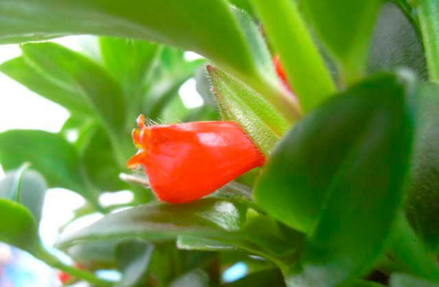 выращивание: цветок гипоцирта