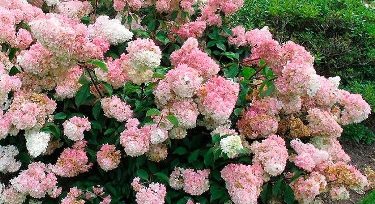 на какой год зацветет гортензия метельчатая