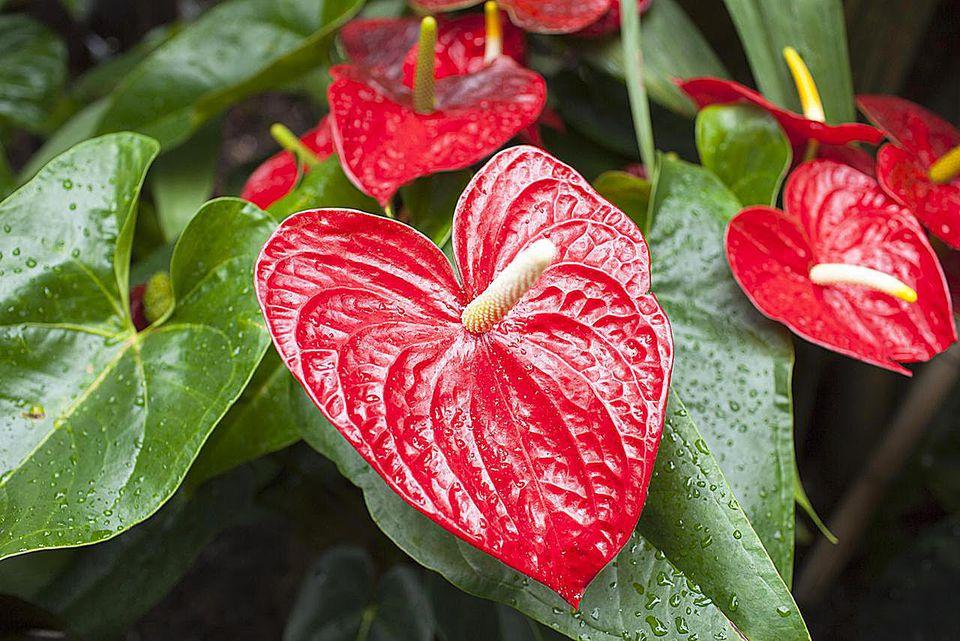 Почему не цветет Антуриум в домашних условиях