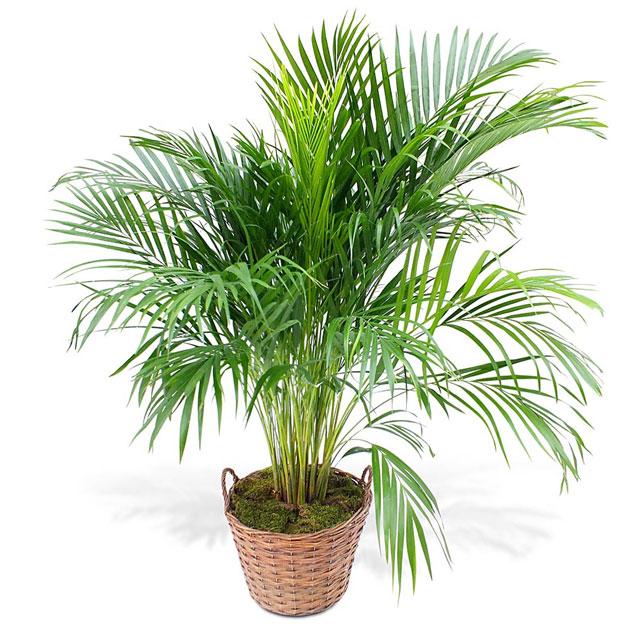 пальма арека: уход дома