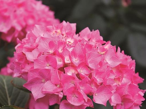 уход дома за гортензией розовой