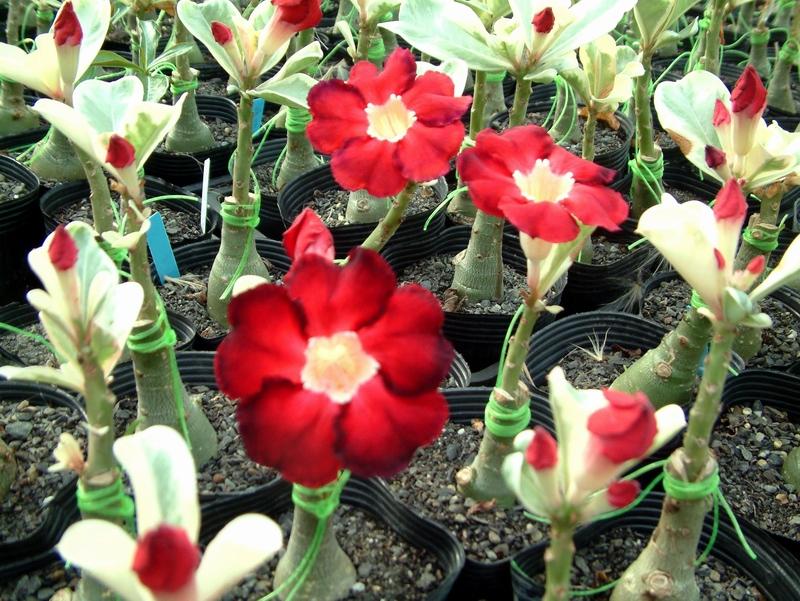 цветок адениум мини уход дома