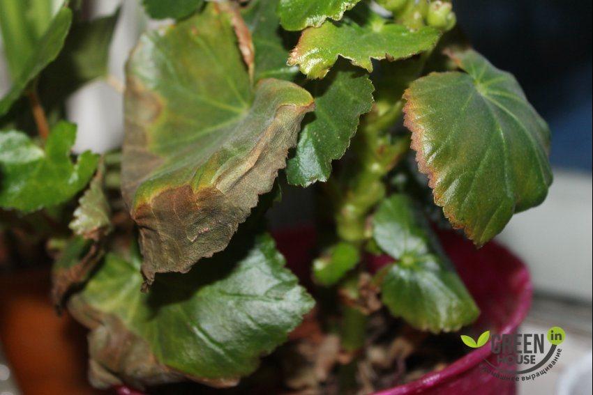 Сохнут листья у бегония почему засыхают комнатные цветы и что делать Почему бегония вянет зимой и как спасти ствол