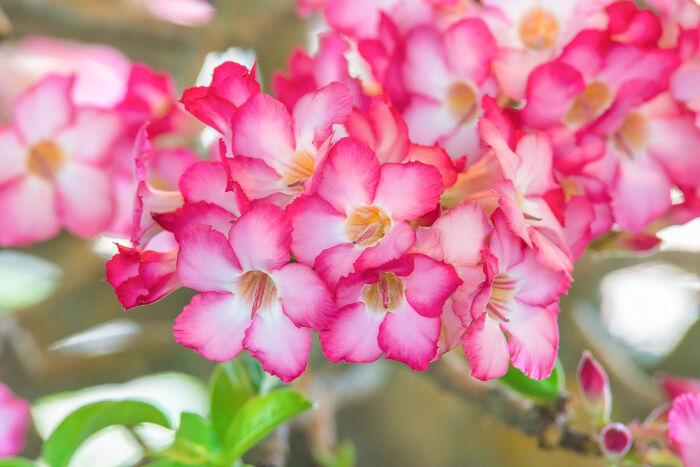 когда цветет азалия
