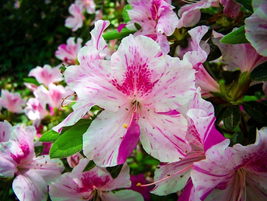 Когда цветет азалия в домашних условиях