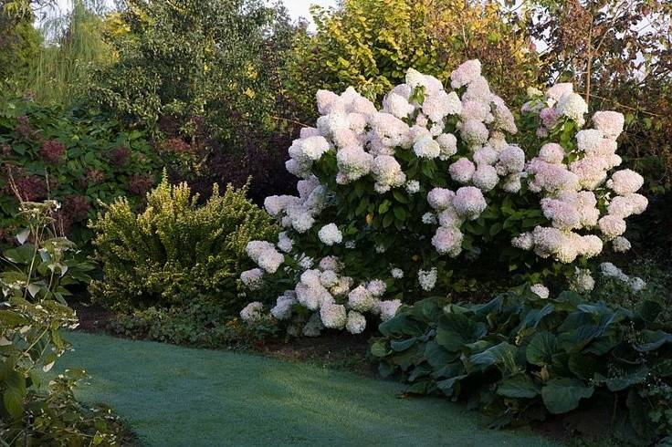 hydrangea Phantom photo