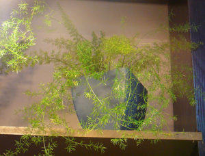 Почему желтеет аспарагус комнатный - TheFlowers