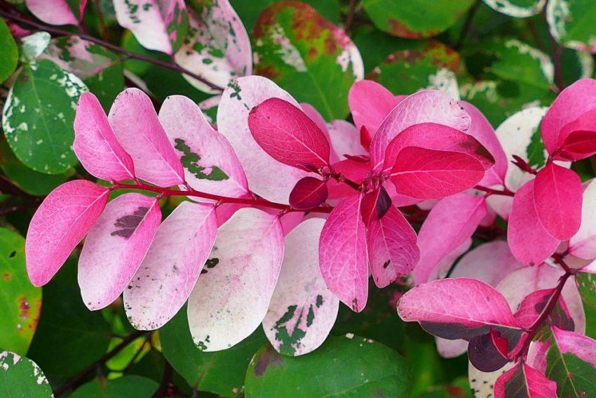 Брейния розовоцветная