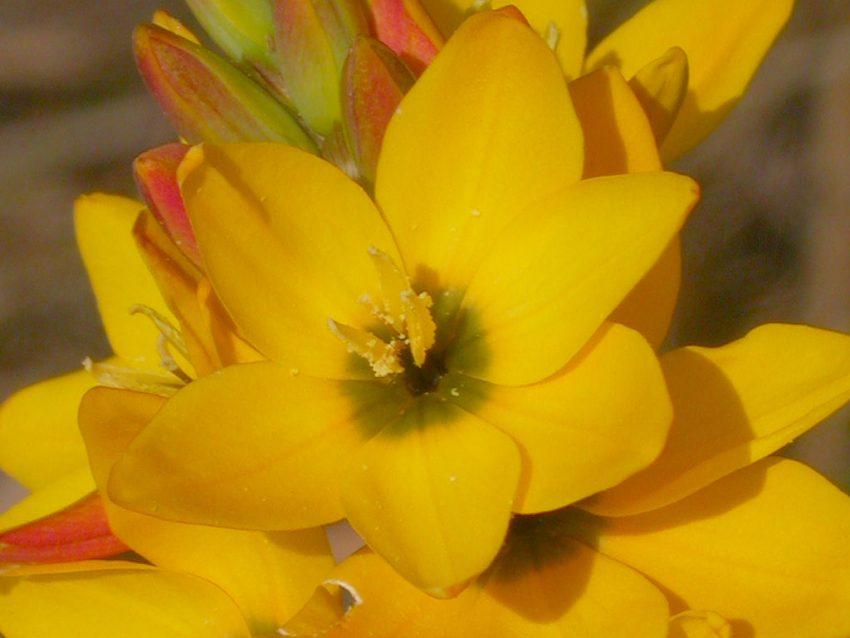 иксия цветок