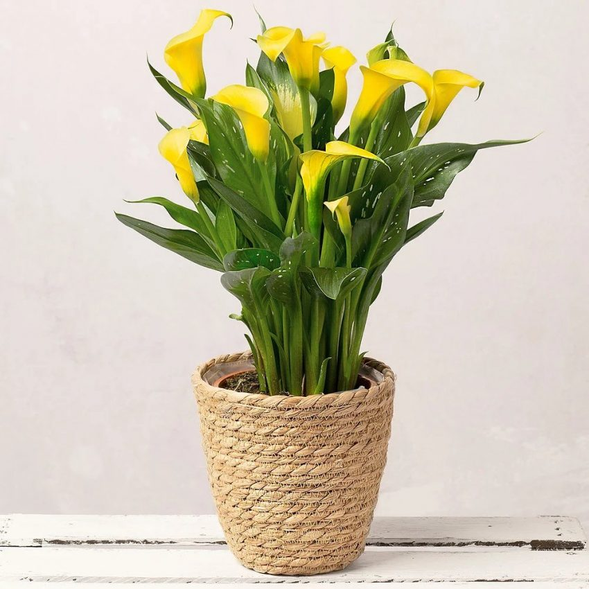 цветок калла в горшке