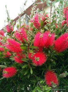 растение каллистемон