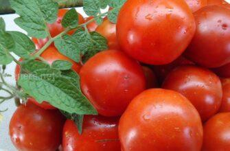 томат аврора фото