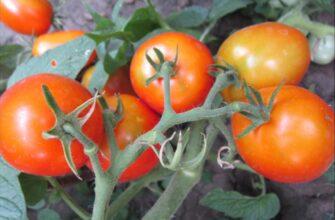 томат акварель фото