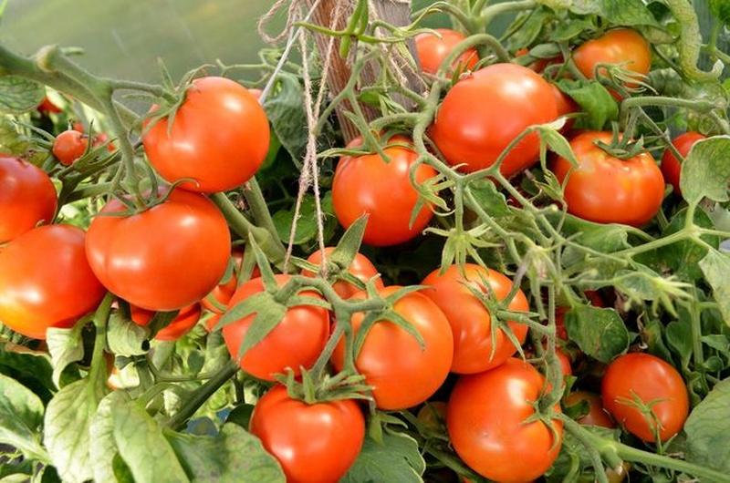 томат альфа фото